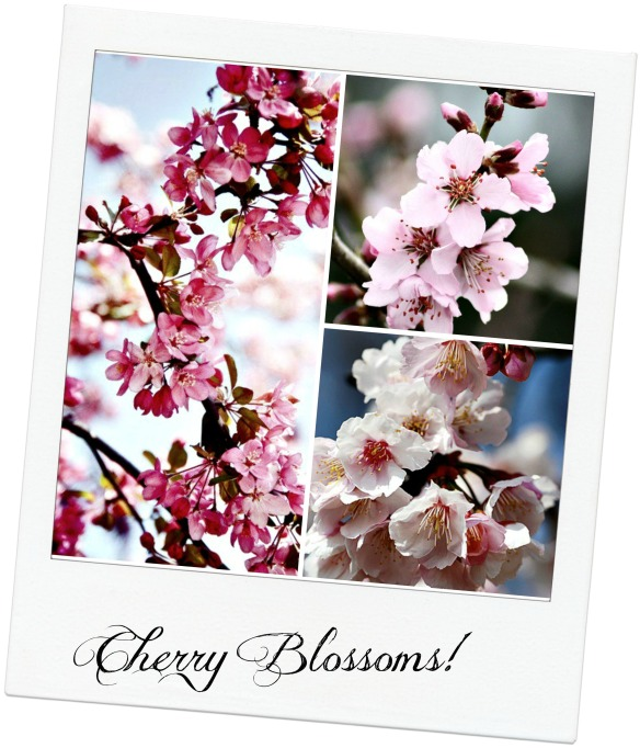 cherry blossoms for platters with textjpg